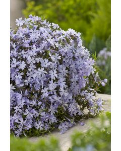 Phlox mousse 'emer cushion blue'