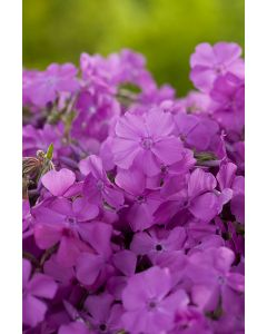 Phlox Mousse 'Macdaniel'S Cushion'