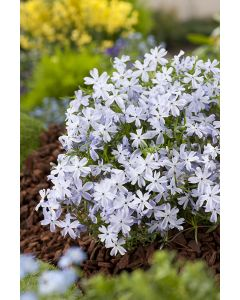 Phlox mousse 'oak blue eyes'