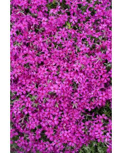Phlox mousse 'scarlet flame'