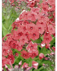 Phlox Paniculé 'Red Riding Hood'