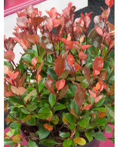 Photinia 'Little Red Robin'