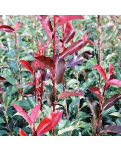 Photinia 'Red Robin Blood'
