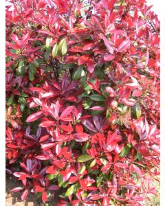 Photinia Red Robin - Pot de 2 L