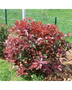 Photinia 'Red Select'