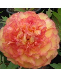 Pivoine arbustive orange