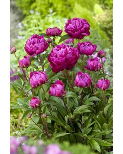 Pivoine de Chine 'Karl Rosenfield'