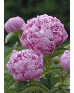 Pivoine De Chine 'Mr Jules Elie'