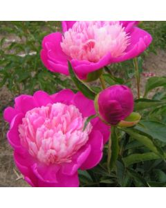 Pivoine 'Gay Paree'