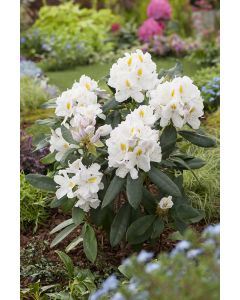 Rhododendron 'Cunningham's' blanc