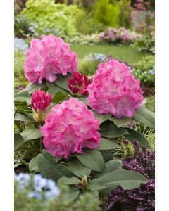 Rhododendron 'Germania' rouge