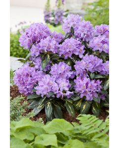 Rhododendron 'Goldflimmer' mauve