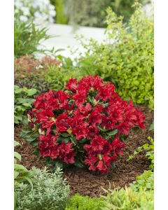 Rhododendron nain 'Baden-Baden' rouge