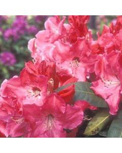 Rhododendron nain rouge