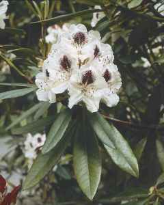 Rhododendron 'Sappho'