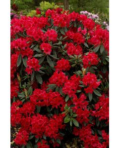 Rhododendron 'Vulcan' rouge