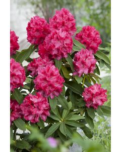 Rhododendron 'Wilgen'S Ruby' rouge