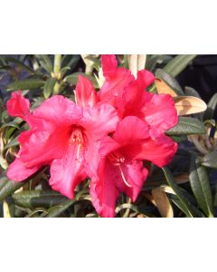 Rhododendron yak 'Fred G. Peste'