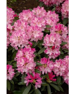 Rhododendron yak 'Marlis'