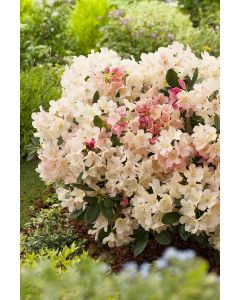 Rhododendron yak 'Percy Wisema'