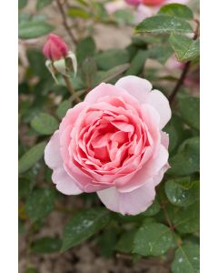 Rosier Brother Cadfael®
