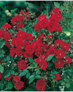 Rosier Miniature Scarlet Hit®