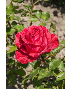 Rosier Red Intuition®
