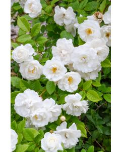 Rosier Rugueux 'White Perfection'