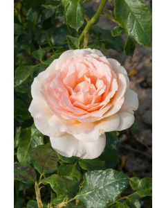 Rosier 'Sweet Love'