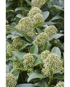 Skimmia du Japon 'Fragrant Cloud'