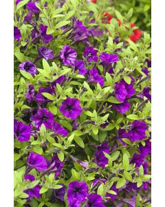 Surfinia 'tiny tunia'