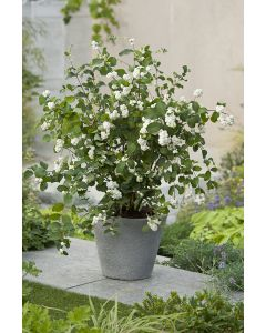 Symphorine 'White Hedge'