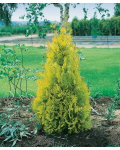 Thuja du Canada 'Yellow Ribbon'