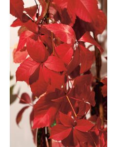 Vigne Vierge 'Red Wall'