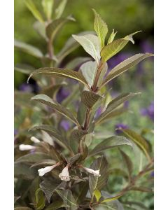 Weigelia Black and White®