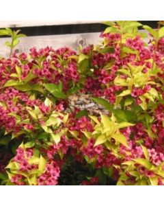 Weigelia 'Jean's Gold'