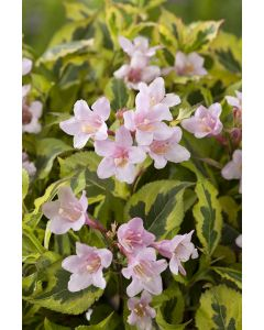 Weigelia Magical Rainbow®