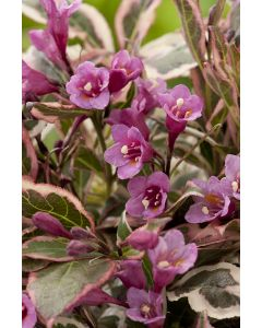 Weigelia Monet®