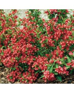 Weigelia Nain rouge®