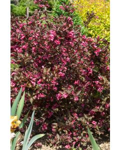 Weigelia 'Purpurea'