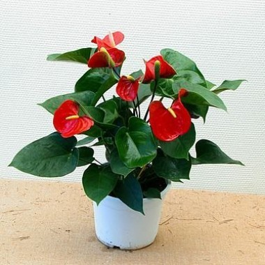 Miniature  - Anthurium