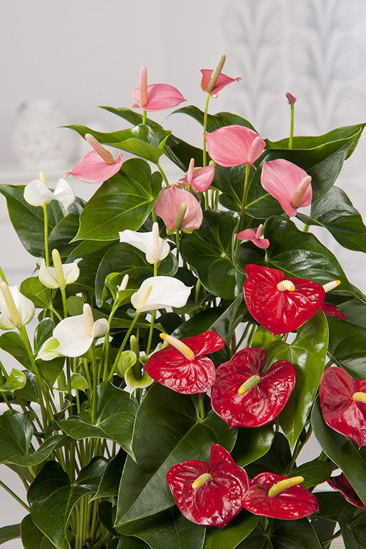 Miniature  - Anthurium ou langue de feu