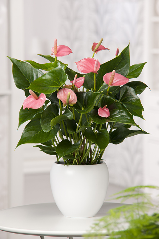 Miniature  - Anthurium 'Pink Champion'