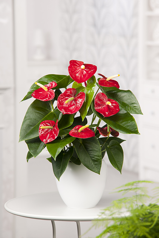 Image  - Anthurium 'Red Champion'