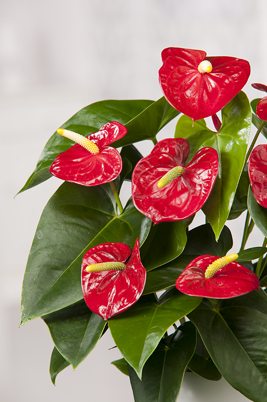 Miniature  - Anthurium 'Red Champion'