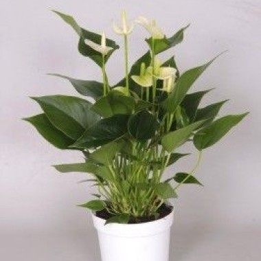 Image  - Anthurium 'White Champion®'