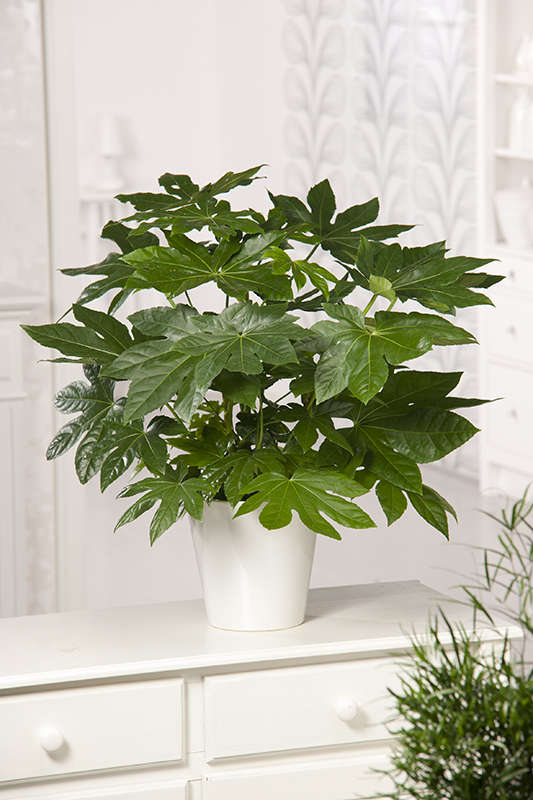 Miniature  - Aralia du Japon Mini plante