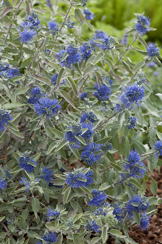Miniature  - Barbe bleue 'Sterling Silver'