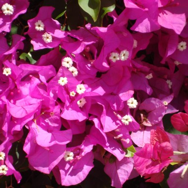 Miniature  - Bougainvillier