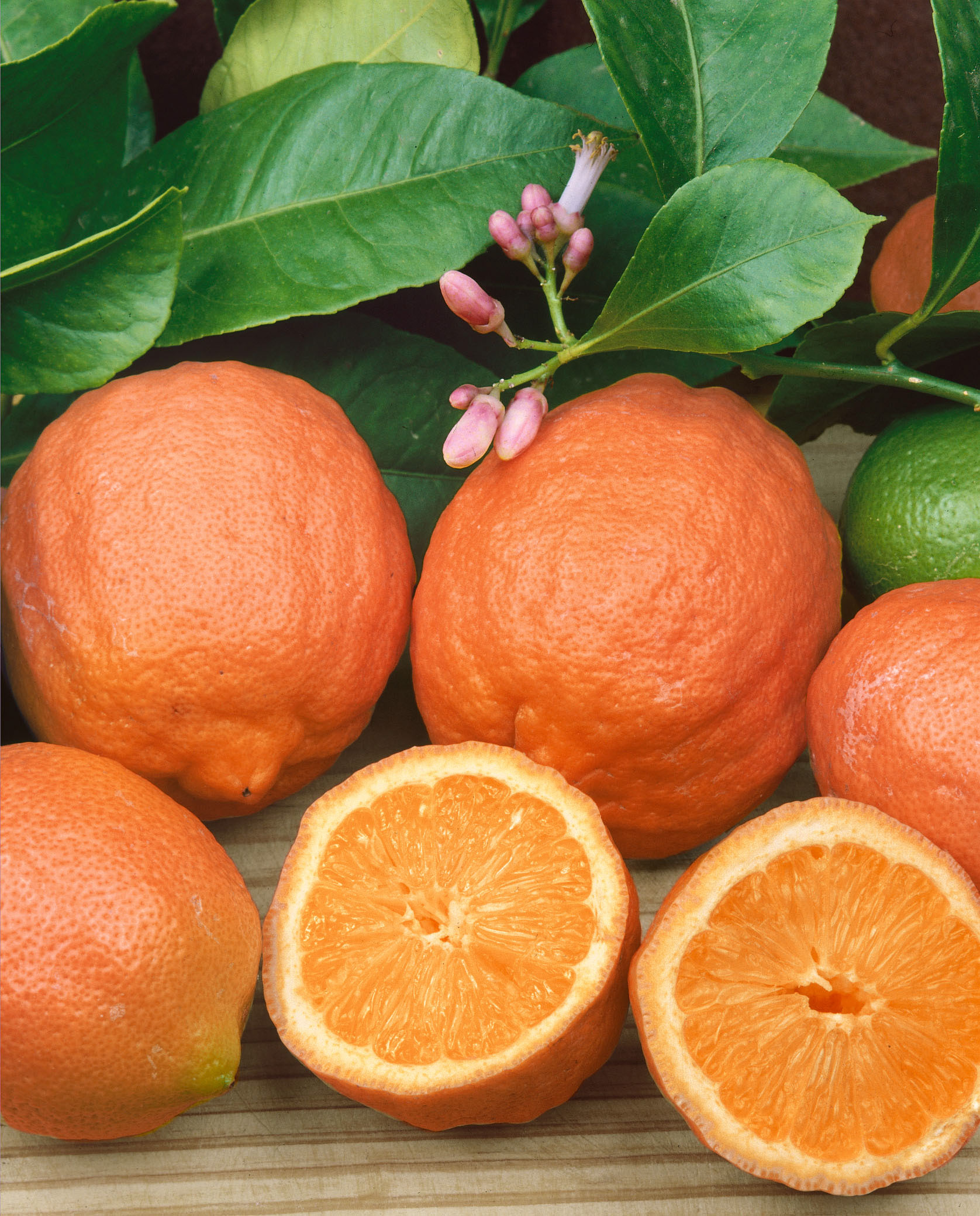 Image  - Citronnier Lime rouge 'Osbeck'